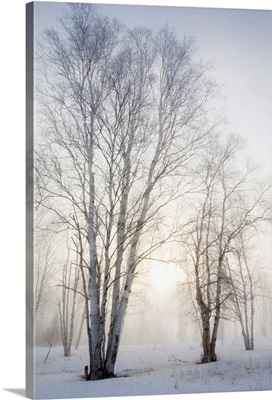 Birch Trees In The Fog In Winter, Ontario, Canada