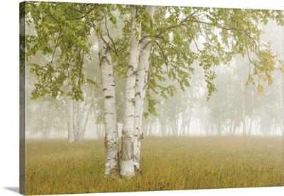 Birch Trees In The Fog; Thunder Bay, Ontario, Canada