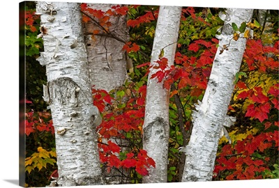 Birch Trees Surrounded By Red Maple Leaves In Algonquin Park, Ontario, Canada