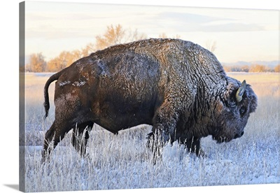 Bison In  Frozen Field With Frost On Its Hair, Grand Teton National Park, Wyoming