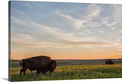 Bison roam the plains at sunset in Grassland National Park, Saskatchewan, Canada