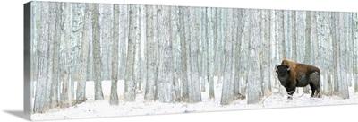 Bison Standing In Snow Among Poplar Trees In Elk Island National Park Alberta, Canada