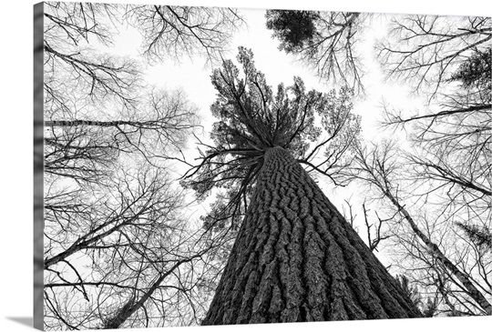 Black and white image of a large white pine ontario canada
