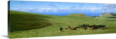 Black Angus, Red Angus and Hereford beef cattle on a green hillside pasture