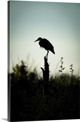 Black-Headed Heron Stands On Stump In Silhouette, Serengeti, Tanzania