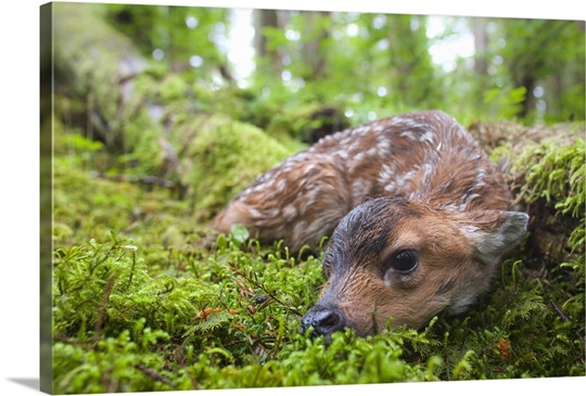 Black Tailed Deer Fawn Lying