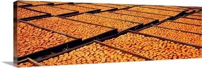 Blenheim apricots on drying trays
