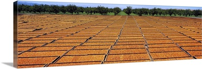 Blenheim apricots on drying trays with apricot orchard