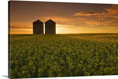 Bloom Stage Canola Field With Grain Bins, Manitoba, Canada