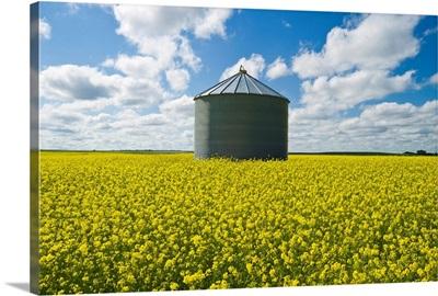 Bloom Stage Mustard Field And Grain Bin, Ponteix, Saskatchewan, Canada