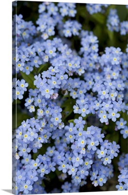 Blooming Blue Flowers, Victoria, British Columbia, Canada