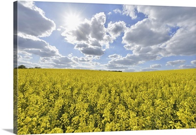 Blooming Canola Field With Sun In Spring, Bavaria, Germany