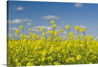 Blooming Mustard Field, Ponteix Saskatchewan, Canada