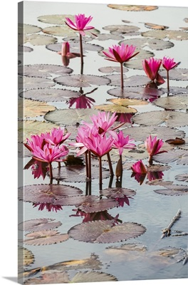 Blossoming Fuchsia Lotus (Nelumbo) Plants, Red Lotus Sea, Nong Han Lake, Thailand