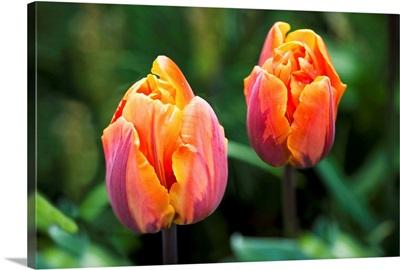 Blossoming multi-coloured tulips, British Columbia, Canada