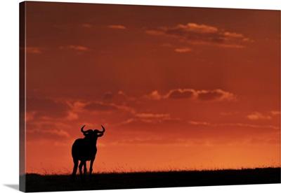 Blue Wildebeest, Maasai Mara National Reserve, Kenya