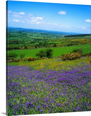 Bluebell Flowers On A Landscape, County Carlow, Republic Of Ireland