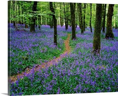 Bluebell Wood, Near Boyle, County Roscommon, Ireland