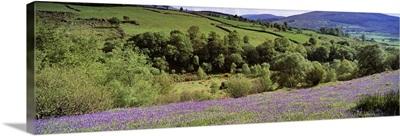 Bluebells In A Field, Sally Gap, County Wicklow, Republic Of Ireland