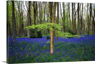 Bluebells in the woods, Hampshire, England