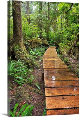 Boardwalk On The Rainforest Trail In Pacific Rim National Park, Vancouver Island
