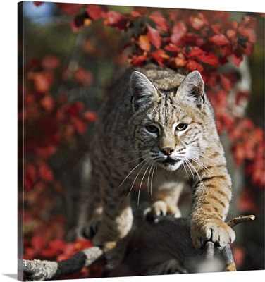 Bobcat (Felis Rufus) Walks Along Branch Through Red Leaves Of A Hawthorn In Autumn