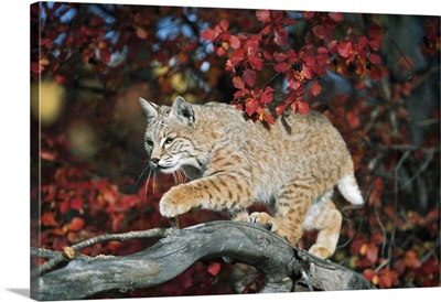 Bobcat Walks On Branch Through Hawthorn In Autumn; Idaho