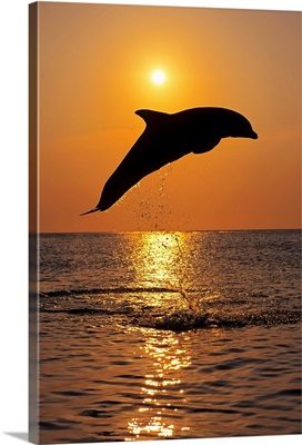 Bottle Nose Dolphin Jumping at Sunset, Roatan, Honduras