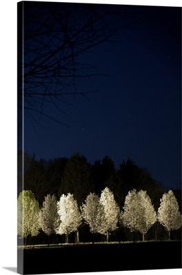 Bradford Pear Trees, Tennessee