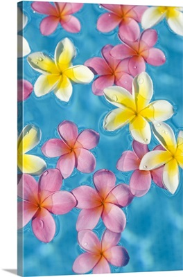 Bright Yellow And Pink Plumeria's Floating In Turquoise Water