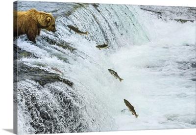 Brown Bear Fishing For Sockeye Salmon At Brooks Falls, Katmai National Park, Alaska