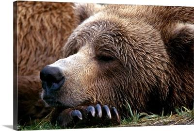 Brown Bear resting Katmai Natl Park Southwest Alaska summer portrait