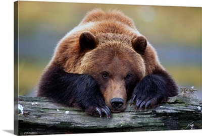 Brown Bear Rests With Its Front Legs Outstretched On A Log, Alaska