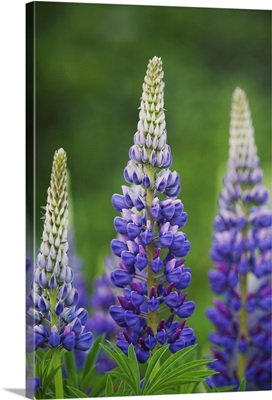 Budding Purple Lupines; Thunder Bay, Ontario, Canada