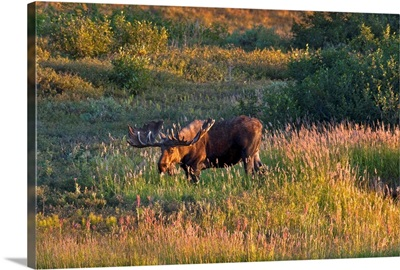 Bull moose stands on Fall colored tundra at sunset in Denali National Park, Alaska