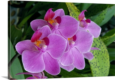Bunch Of Lavender Colored Orchids On Plant, Outdoors