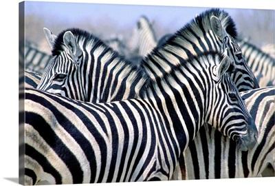 Burchell's Zebra (Equus Quagga Burchellii), Etosha National Park, Namibia, Africa