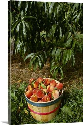 Bushel basket of Jim Dandee peaches in front of a peach tree