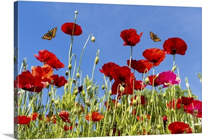 Butterflies Flying Over Red Poppies, Whitburn, Tyne And Wear, England