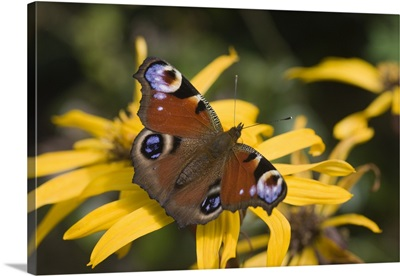 Butterfly (Lepidoptera)