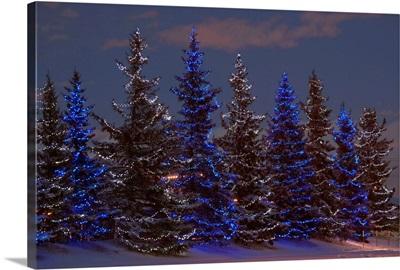 Calgary, Alberta, Canada, A Row Of Evergreen Trees With Christmas Lights