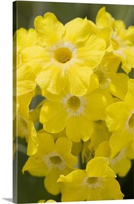 Calgary, Alberta, Canada; Yellow Primula Auricula Flowers