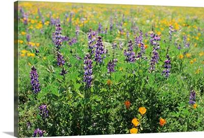 California, Beautiful Meadow Of Lupine And California Poppies