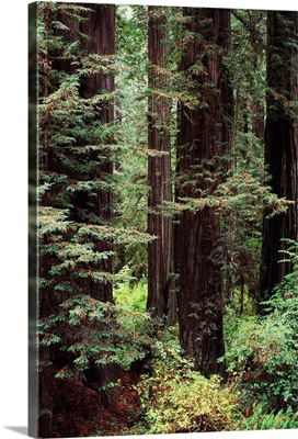 California, Jedediah Smith Redwoods State Park, Old Growth Of Redwood Trees