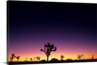 California, Mojave Desert, Joshua Tree National Park, Joshua Trees Silhouetted At Dawn