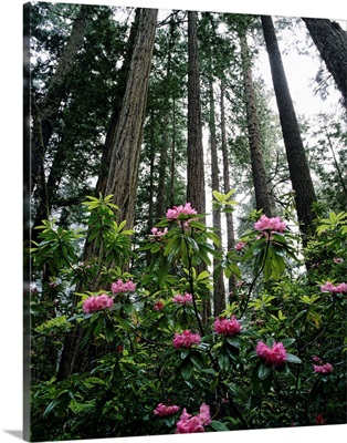California, Rhododendrons And Coast Redwoods In Fog