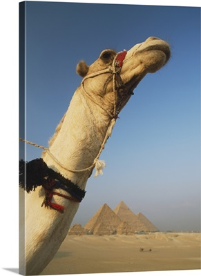 Camel And Great Pyramids Of Giza; Egypt