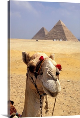 Camel Looking At Camera With Pyramids In The Background, Giza, Egypt