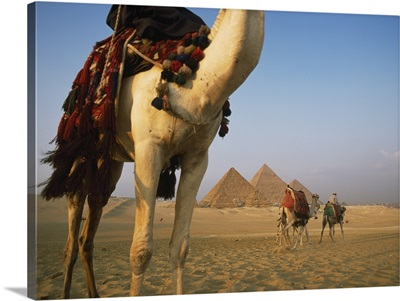 Camels And Great Pyramids Of Giza, Egypt