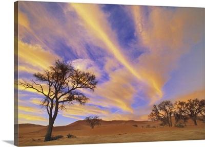 Camelthorn Trees At Sunset In Namib Desert, Namibia, Africa